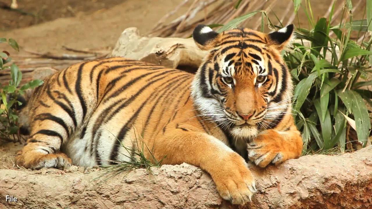 british zookeeper killed by tiger called u0027shining light u0027