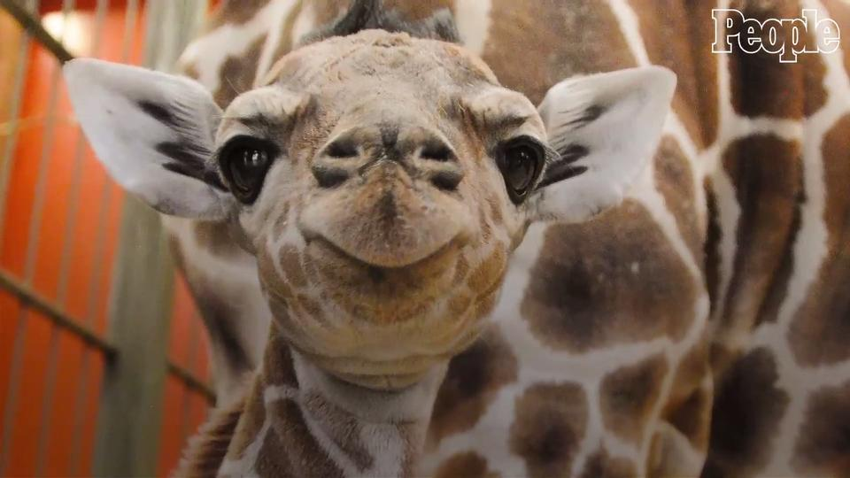 Baby Giraffe Euthanized It Was Gored By Another San Diego Zoo Animal