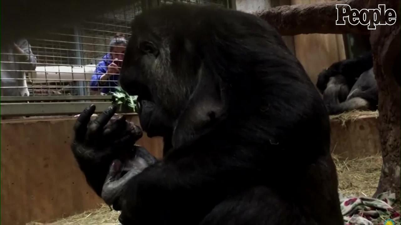 mother gorilla kissing and cradling her newborn baby smithsonian