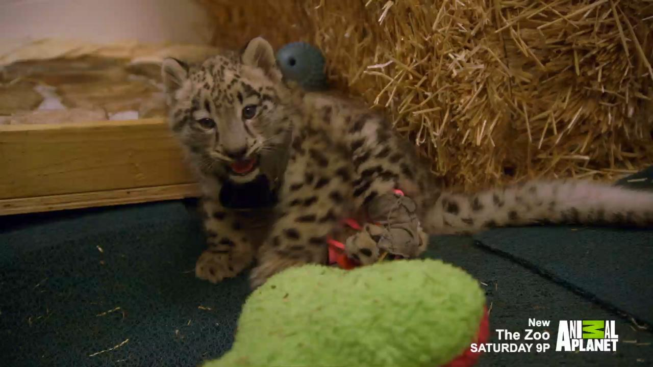 Baby Snow Leopard Born Unable To Walk Struggles With Physical
