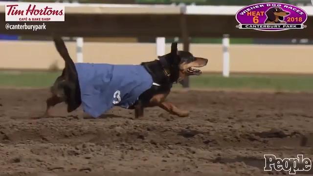 Ringo, The Three-legged Wiener Dog, Wins Race