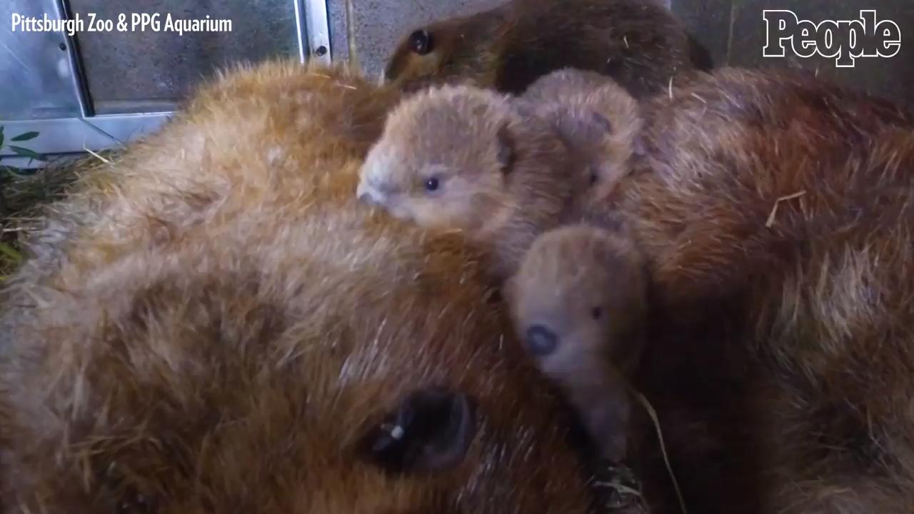 Busy Beaver Parents at Pittsburgh Zoo Welcome 7 Baby Beaver Kits