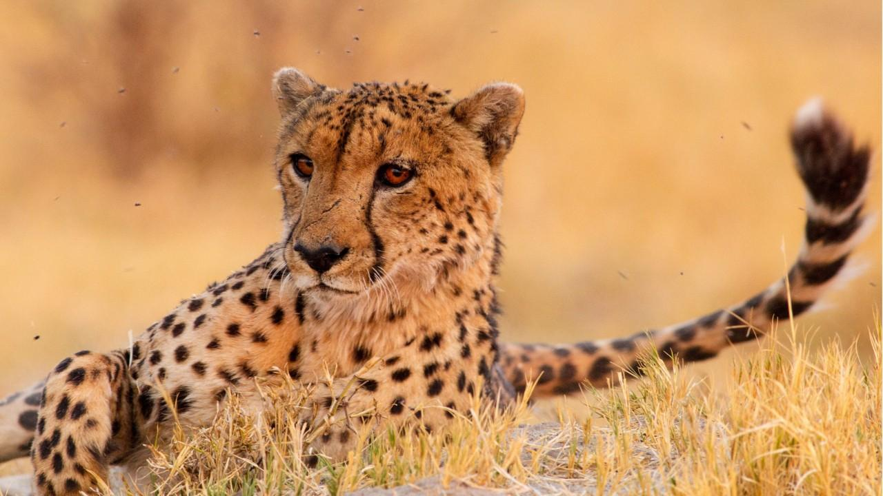 Cheetah Support Dogs In Zoos Help Anxious Cheetahs - Cheetahs can be so shy that zoos give them emotional support dogs